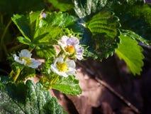 Truskawkowi kwiaty Zdjęcie Royalty Free