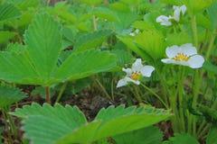 Truskawkowi kwiaty Obrazy Royalty Free