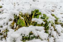 Truskawkowy Bush pod śniegiem zdjęcie stock