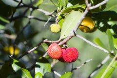 Truskawkowy drzewo (Arbutus unedo) Obrazy Royalty Free
