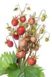 truskawkowy dziki drewno Obrazy Royalty Free