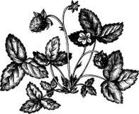 Truskawkowy krzak z jagodami royalty ilustracja