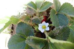 Truskawkowy kwiat fotografia stock