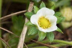 Truskawkowy kwiat przy ogródem - Wietnam obraz stock