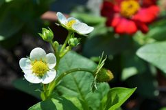 Truskawkowy kwiat w ogródzie zdjęcie stock