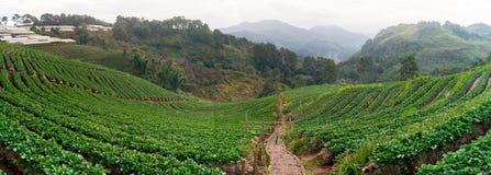 Truskawkowy ranek Doi Angkhang Fotografia Stock