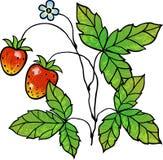 Truskawkowy winograd Zdjęcie Royalty Free