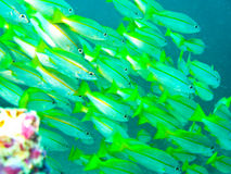 Trust. The school of fish underwater at sipadan Royalty Free Stock Photo
