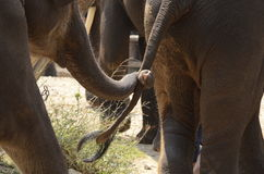 Trust you Lead ME. A elephant trunk to another elephant tail trust him to guide him to where he go Stock Photo