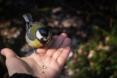A trustful great tit sitting on a hand and feeding. Sunflowers seeds Stock Photo