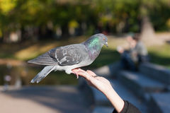 Trustful pigeon Royalty Free Stock Images