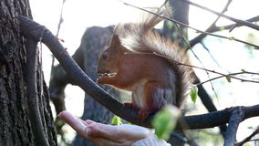 Trustful squirrel takes a delicacy from hand. Trustful squirrel takes a delicacy from a female hand stock footage