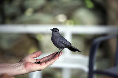 Trusting Gray catbird eats currants from woman's hand. Stock Photography