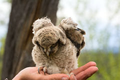 Trusting owlet sitting on ornithologist hand Stock Photography