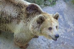 Trustingly looking bear in the zoo Royalty Free Stock Photo