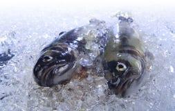 Truta no gelo Fotografia de Stock