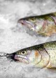 Truta salmon norueguesa fresca no gelo no supermercado fotografia de stock