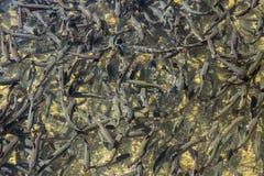 Trutas na lagoa Imagens de Stock