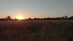 Truteń lata nad kolcami w nieuprawnym polu przy zmierzchem zdjęcie wideo