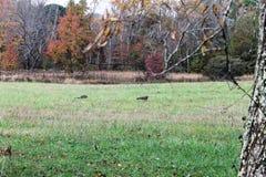 Truthähne auf einem Gebiet mit Gebirgshintergrund Lizenzfreies Stockfoto