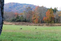 Truthähne auf einem Gebiet mit Gebirgshintergrund Stockfoto