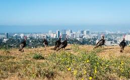 Truthähne, die auf den Hügeln mit im Stadtzentrum gelegenem Oakland auf Hintergrund weiden lassen Lizenzfreies Stockbild
