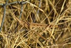 Truxalis在塞浦路斯的地中海海岛上的草伪装的eximia cypria 免版税库存照片