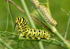 Trwa, kwinty instar Czarna Swallowtail motylia gąsienica je koperu trzon z dwa instars w tle, fourth obraz stock