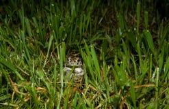 Trwanie żaba Obraz Royalty Free