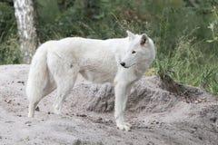 Trwanie biały wilk obraz stock