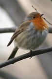 Trwanie bieżny ptak Zdjęcia Stock