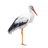 Trwanie bocianowy ptak odizolowywający na białym tle Obrazy Royalty Free