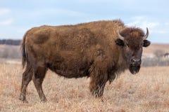Trwanie brown żubr, Kansas zdjęcie royalty free