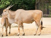 Trwanie brown pospolity eland z ślimakowatymi rogami Obrazy Stock