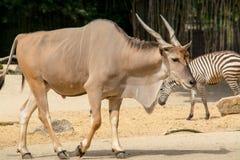 Trwanie brown pospolity eland z ślimakowatymi rogami Zdjęcie Royalty Free