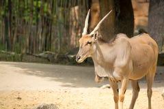 Trwanie brown pospolity eland z ślimakowatymi rogami Zdjęcia Stock