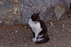 Trwanie czarny i biały barwiony kot Zdjęcia Stock