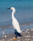 Trwanie Egret morzem Obrazy Stock