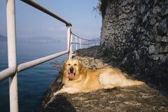 Trwanie golden retriever pozuje podczas gdy chodzący wzdłuż jeziora Zdjęcie Royalty Free