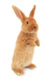 Trwanie królik obraz stock