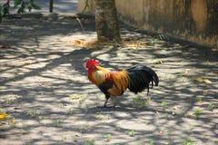 Trwanie kurczak w świątynnym terenie Obraz Royalty Free