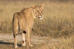 Trwanie lwica Fotografia Royalty Free