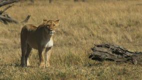 Trwanie lwica w masai Mara parku narodowym, Kenya zbiory