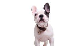 Trwanie mały francuskiego buldoga szczeniaka pies jest przyglądający up zdjęcia royalty free