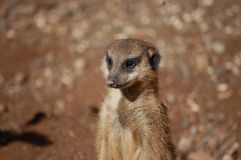 Trwanie meerkat Obraz Stock