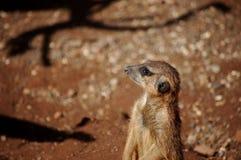 Trwanie meerkat Zdjęcia Stock
