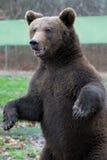 Trwanie Niedźwiedź Obrazy Royalty Free