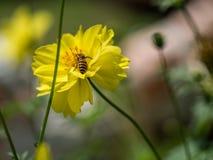 Trwanie pszczoła na kwiacie z pollen Obrazy Royalty Free