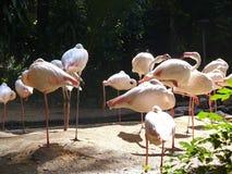 Trwanie różowi flamingi Obrazy Stock