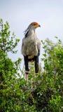 Trwanie sekretarka ptak w Afryka fotografia stock